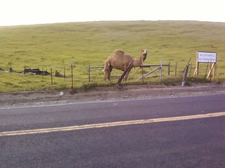 camel on bailey rd | by Contra Costa Times