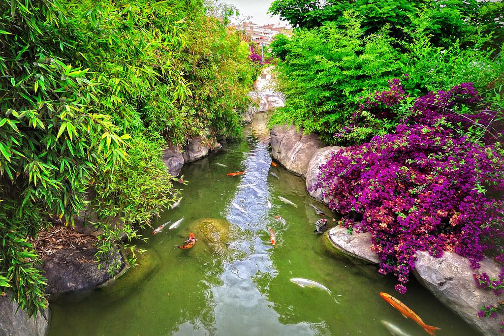 estanque de carpas koi la carpa koi es el rey de los