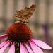 Gehakkelde Aurelia op Echinacea - Polygonia c-album - Comma Butterfly on Echinacea
