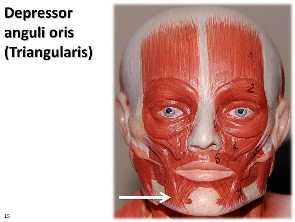 Depressor anguli oris, small model - Muscles of the Upper …  Flickr