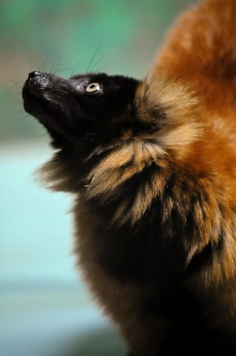 Red Ruffed Lemur | by Potter Park Zoo
