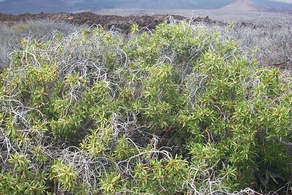 Myoporum Sandwicense Naio Myoporum Sandwicense