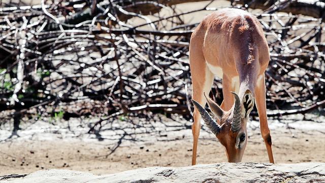Image Gallery Southern Gerenuk  keywordsuggestorg