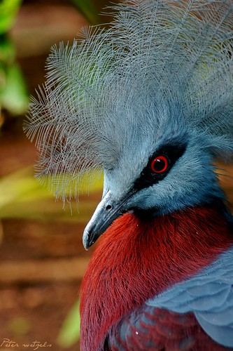 Victoria Crowned Pigeon | by peter.wetzels