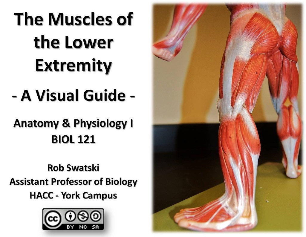 Muscles of the Lower Extremity - Anatomy Visual Guide | Flickr