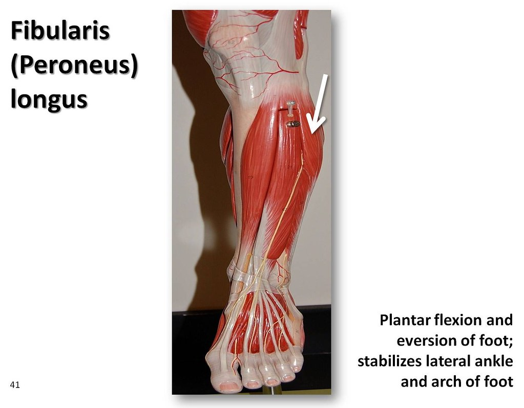 Fibularis Longus Muscles Of The Lower Extremity Anatomy Flickr