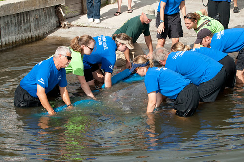 SeaWorld Orlando's animal rescue team returns a manatee to the wild 1 | by SeaWorldParks