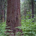 Sequoia and Dogwood