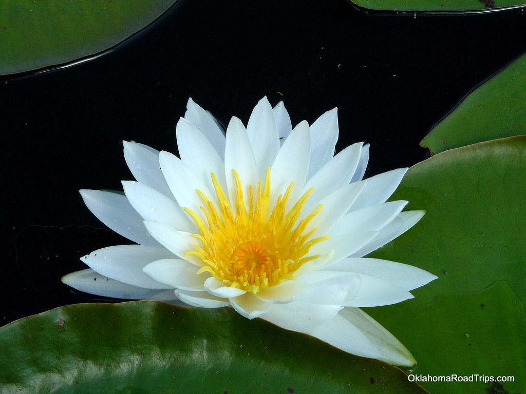 About >> Water Lily on Caddo Lake | Lily pads abound on Caddo Lake. T… | Flickr