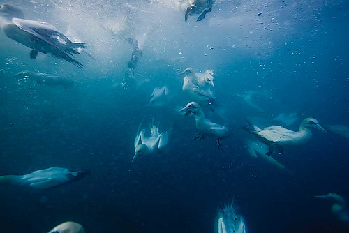 Diving Cape Gannets | by Paul Cowell