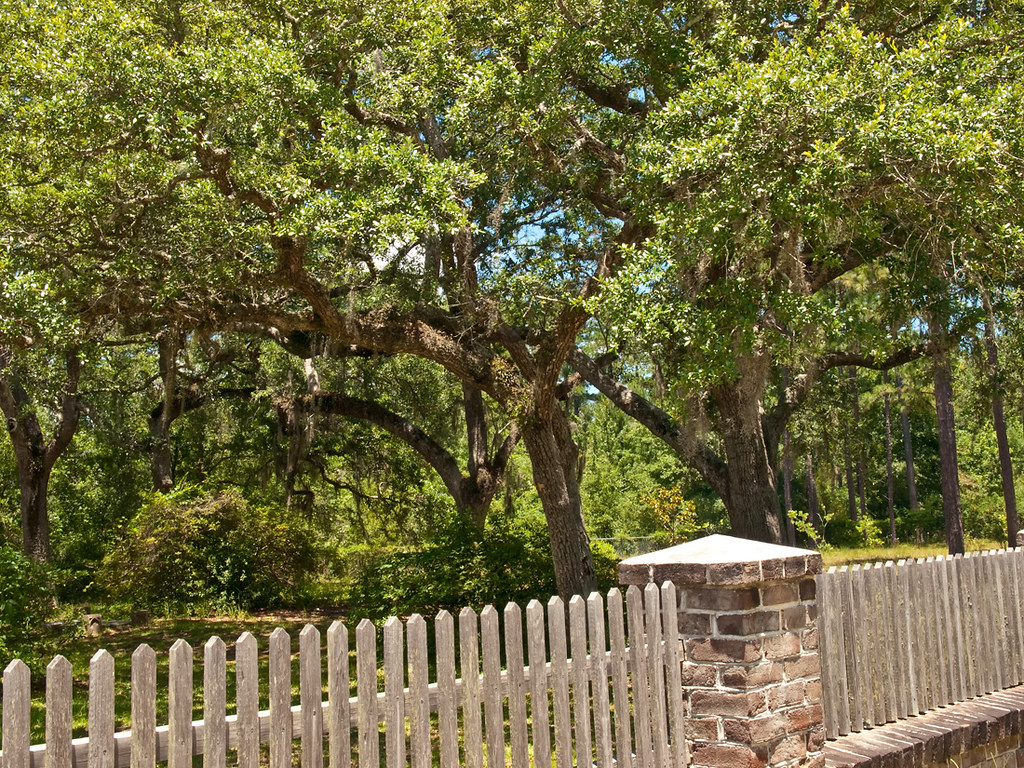 Southern Live Oak trees in the church yard