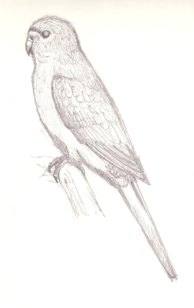 Orange Bellied Parrot | Pencil Drawing. Neophema Chrysogasteu2026 | Flickr