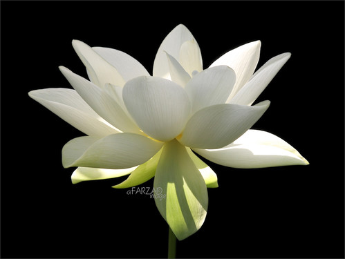 "Flower / White flower / sun / nature / White ""Lotus Flower in the Early Morning Sun""  / green / - IMG_2956 