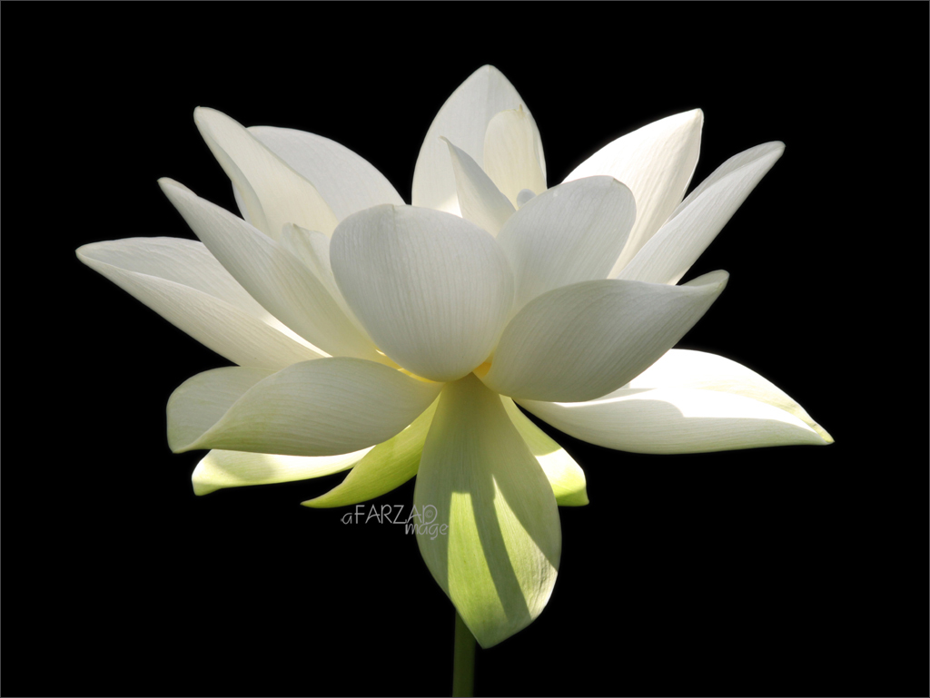 Flower White Flower Sun Nature White Lotus Flower Flickr