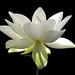 """Flower / White flower / sun / nature / White """"Lotus Flower in the Early Morning Sun""""  / green / - IMG_2956"""