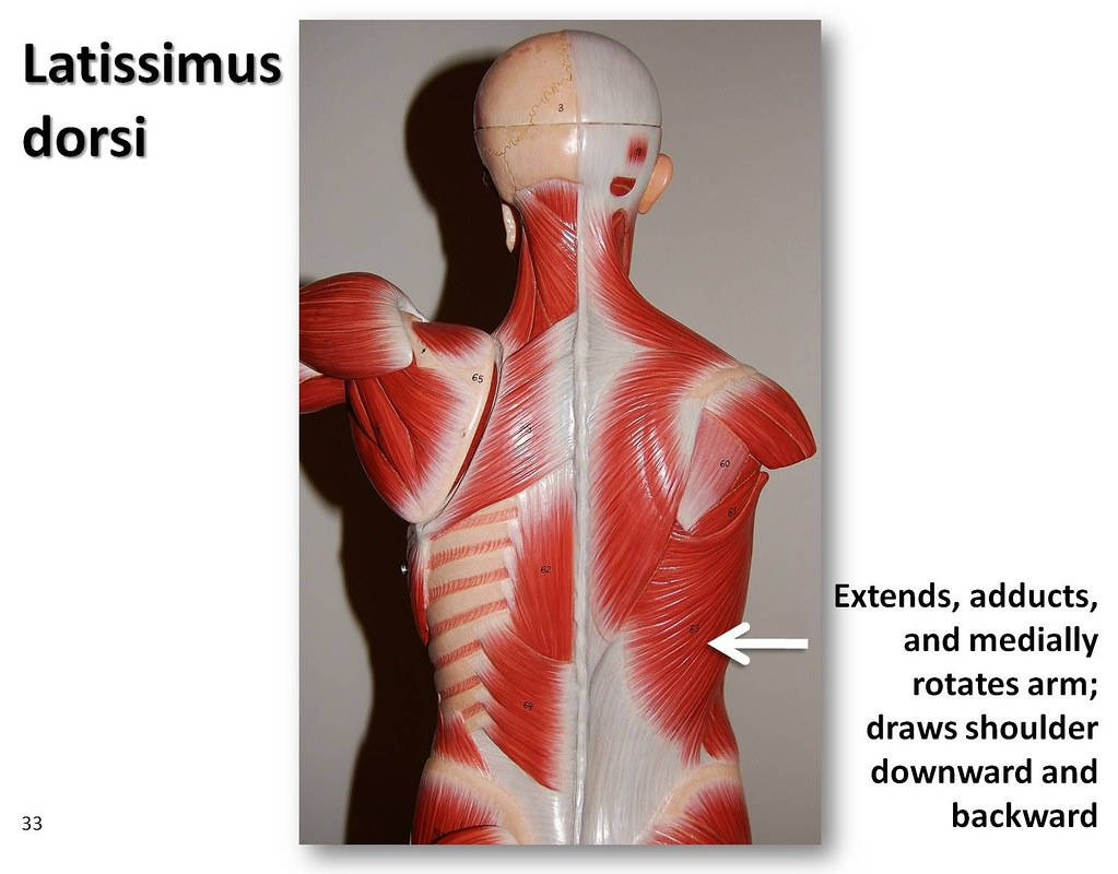 Latissimus dorsi - Muscles of the Upper Extremity Visual A… | Flickr