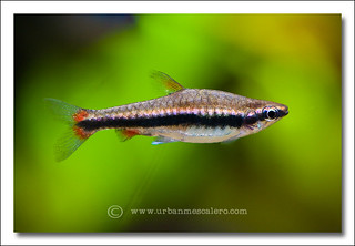 Beckford's Pencilfish (Nannostomus beckfordi) ♀ | by UrbanMescalero