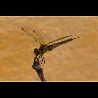 Dragonfly | by nis.jensen