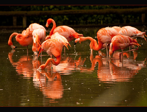 Flaming Flamingoes ~ HPPT! | by Jay Bees Pics