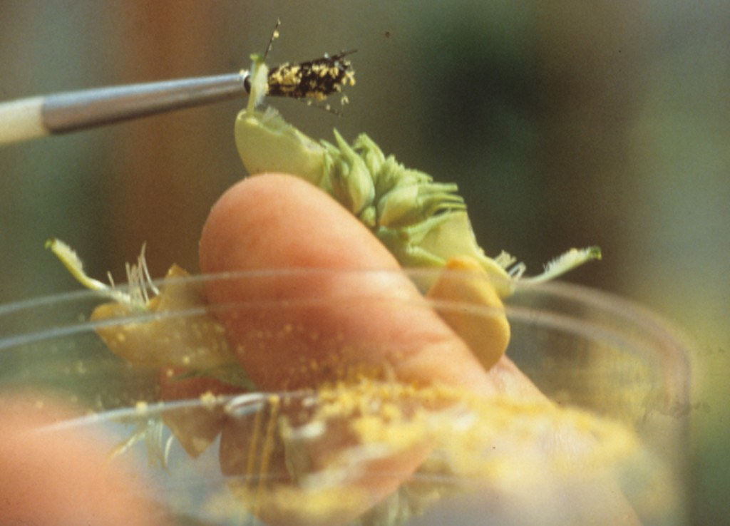 Researcher Pollinating Cowpea Emasculated Buds Through Art
