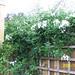 Solanum jasminoides 'Album'