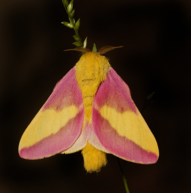 Rosy Maple Moth (Dryocampa rubicunda) _5040   Flickr ... - photo#26