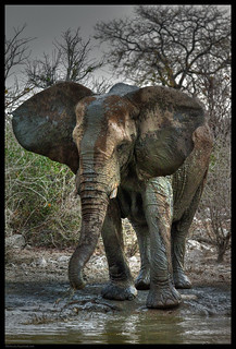 Young angry elephant | by Roberto Valt