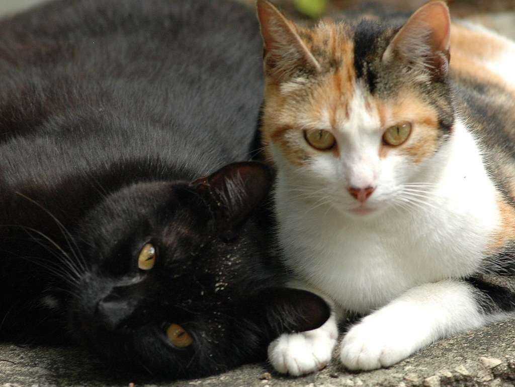 Black Calico Cat My big fat beautiful b...