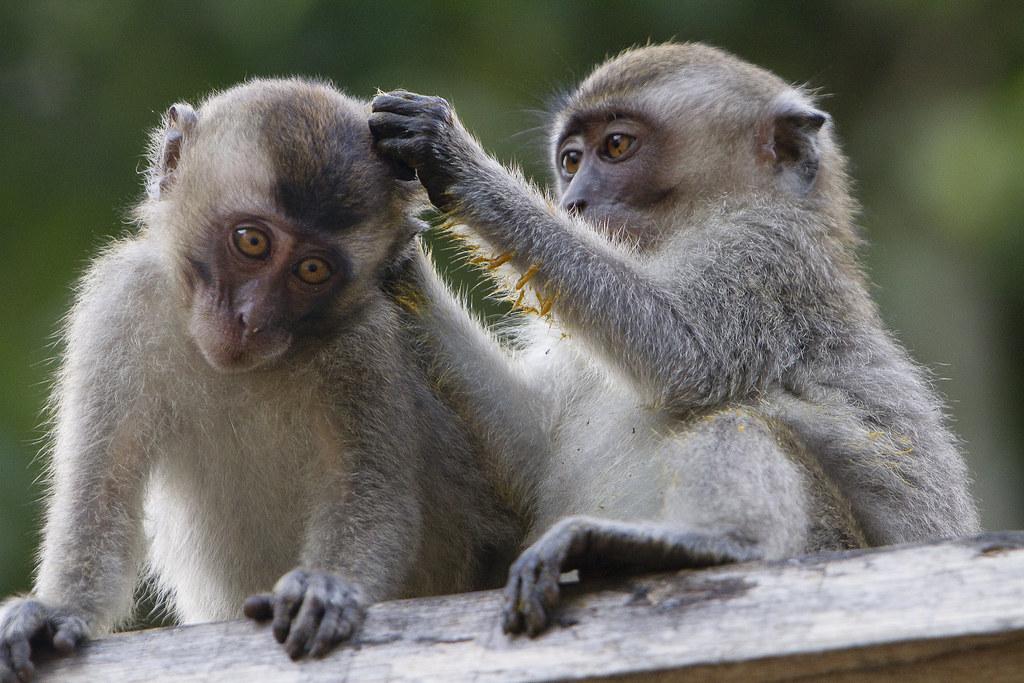 Macaque In Borneo David Dennis Flickr