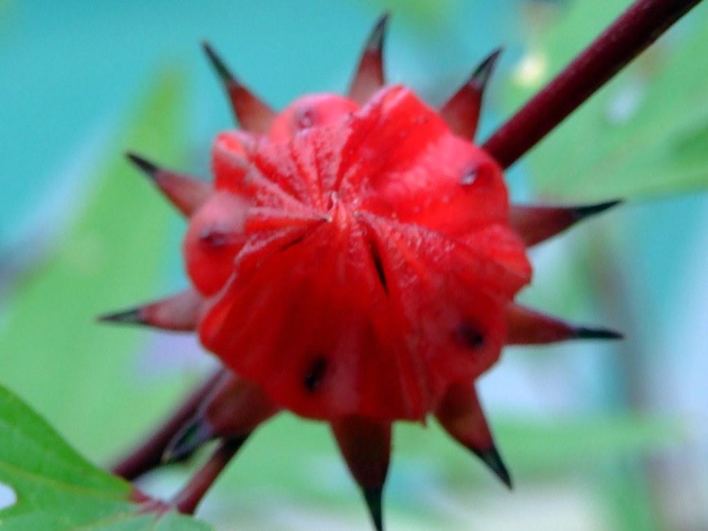 Malvaceae Sepals Of Roselle After Flower Fallen Hib Flickr