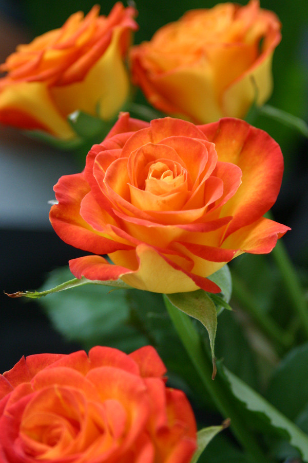 Funny Girl Rose | Yellow rose with orange tips. Fun, playful… | Flickr