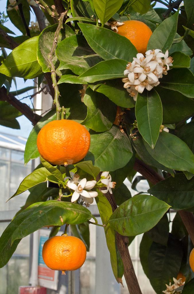 A Valencia Late Orange Tree Cistus Sinensis In The Tempe