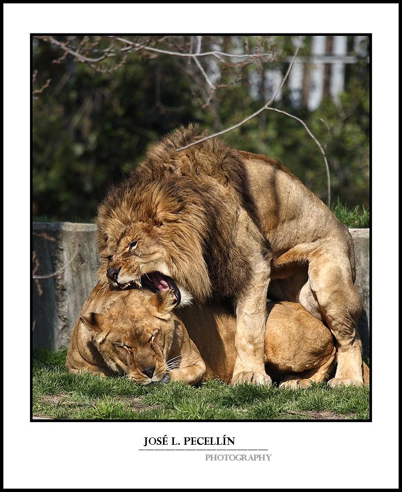 Leones apareandose lions mating apareamiento canon 1d m flickr - Leones apareamiento ...