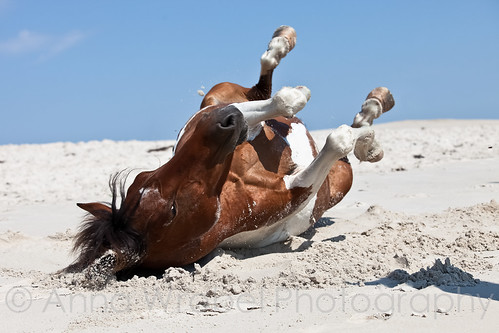 Assateague Horses | by Anna Wrobel