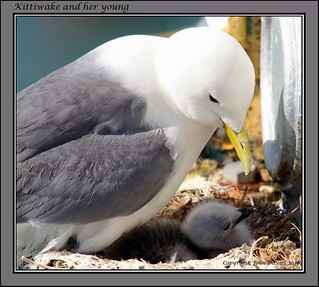 Kittiwake and her young | by JDPhotography -