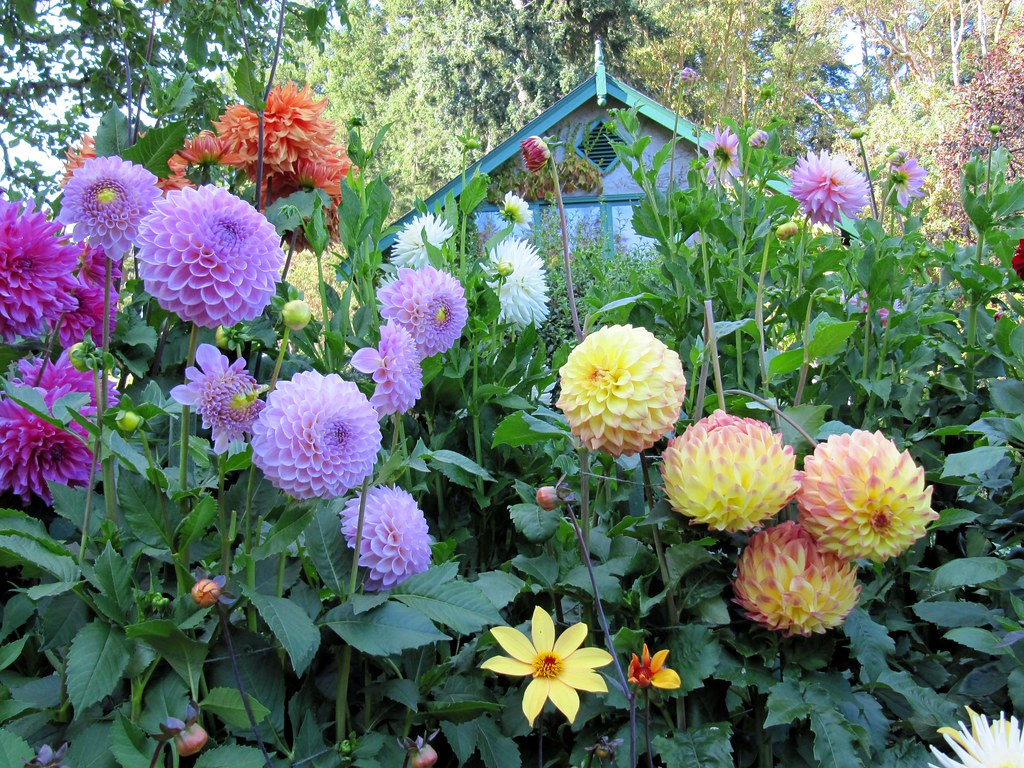 Beautiful colourful dahlias at butchart gardens victori flickr for Olive garden blue springs missouri