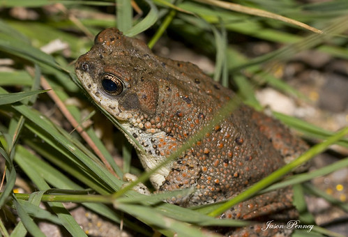 Red Spotted Toad - Bufo punctatus | by J Centavo