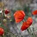 Poppies in Peñafiel