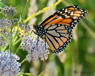 Monarch Butterfly - This one's for you MrClean1982 | by ~MAMA Z~