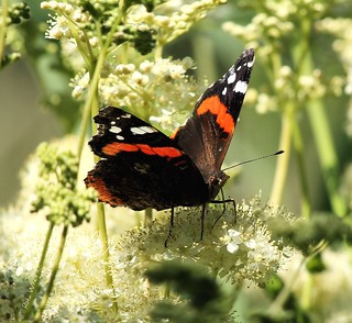 Red Admiral on Meadow Sweet. | by Rita Wren
