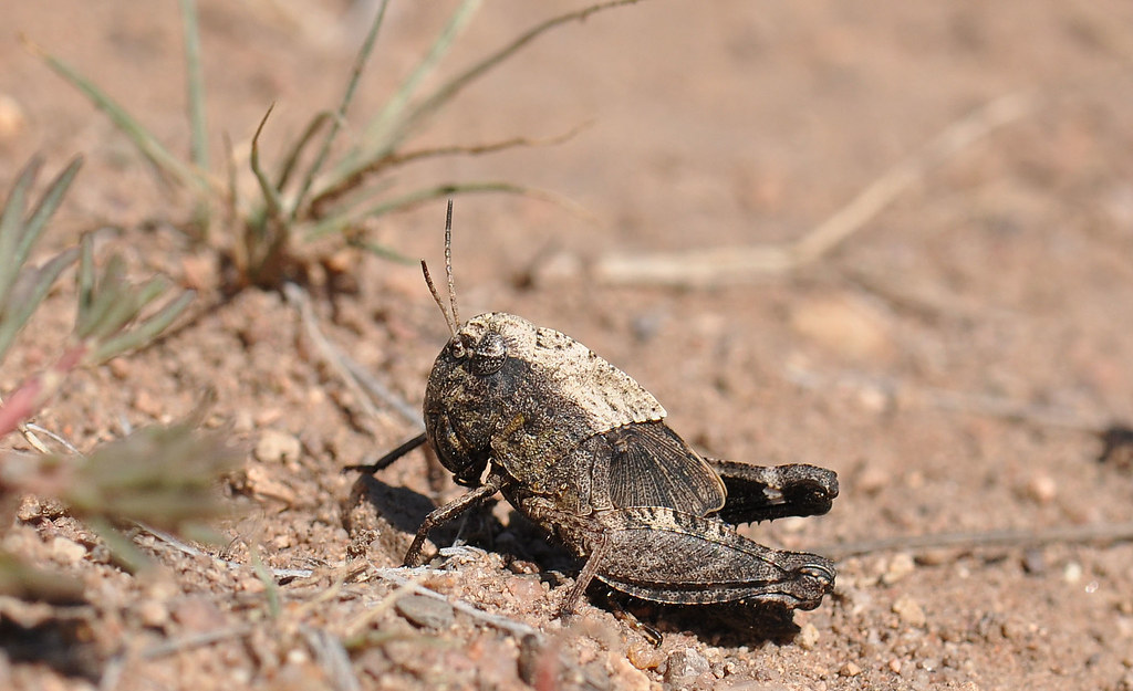Red Winged Grasshopper Arphia Pseudonietana Immature