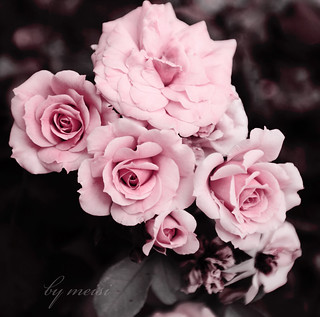my roses | by ·meisi·