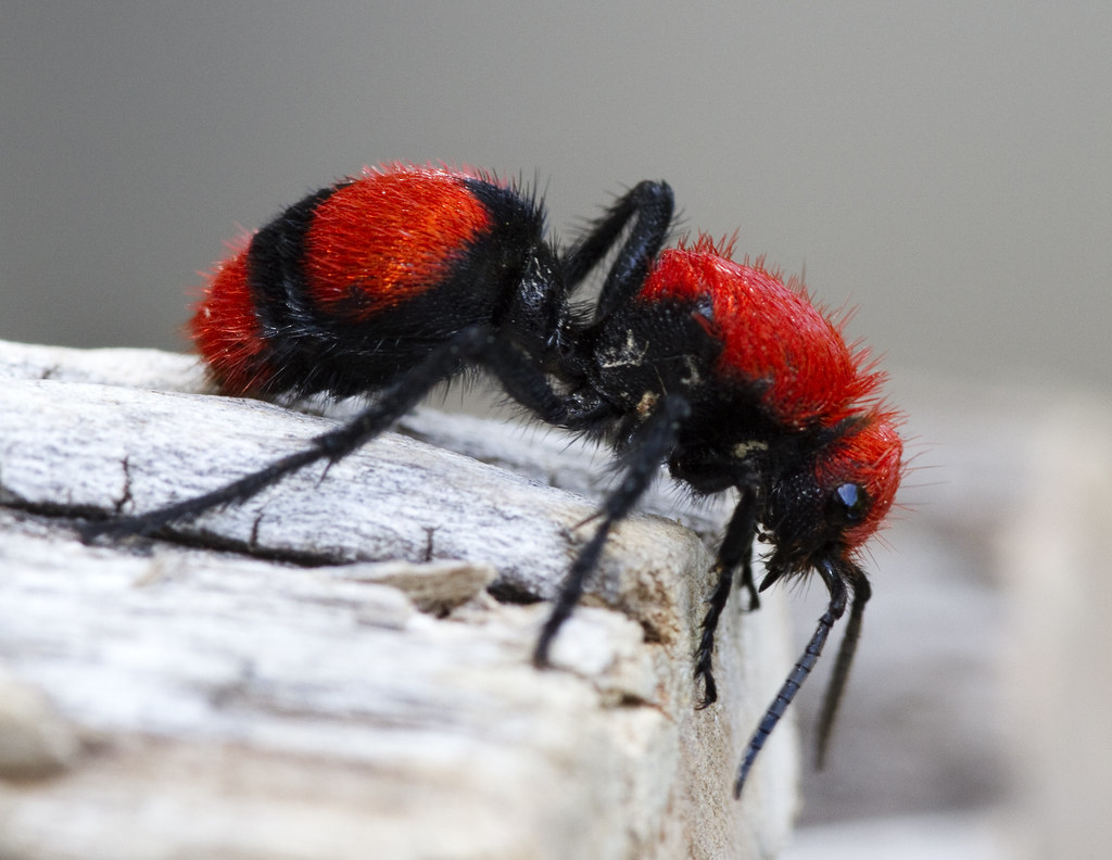 Red Velvet Ant Dasymutilla Occidentalis 5239 Two