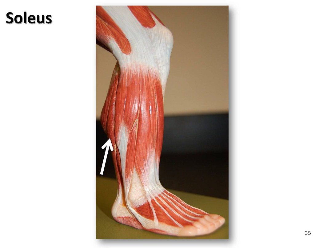 Soleus Muscles Of The Lower Extremity Anatomy Visual Atl Flickr