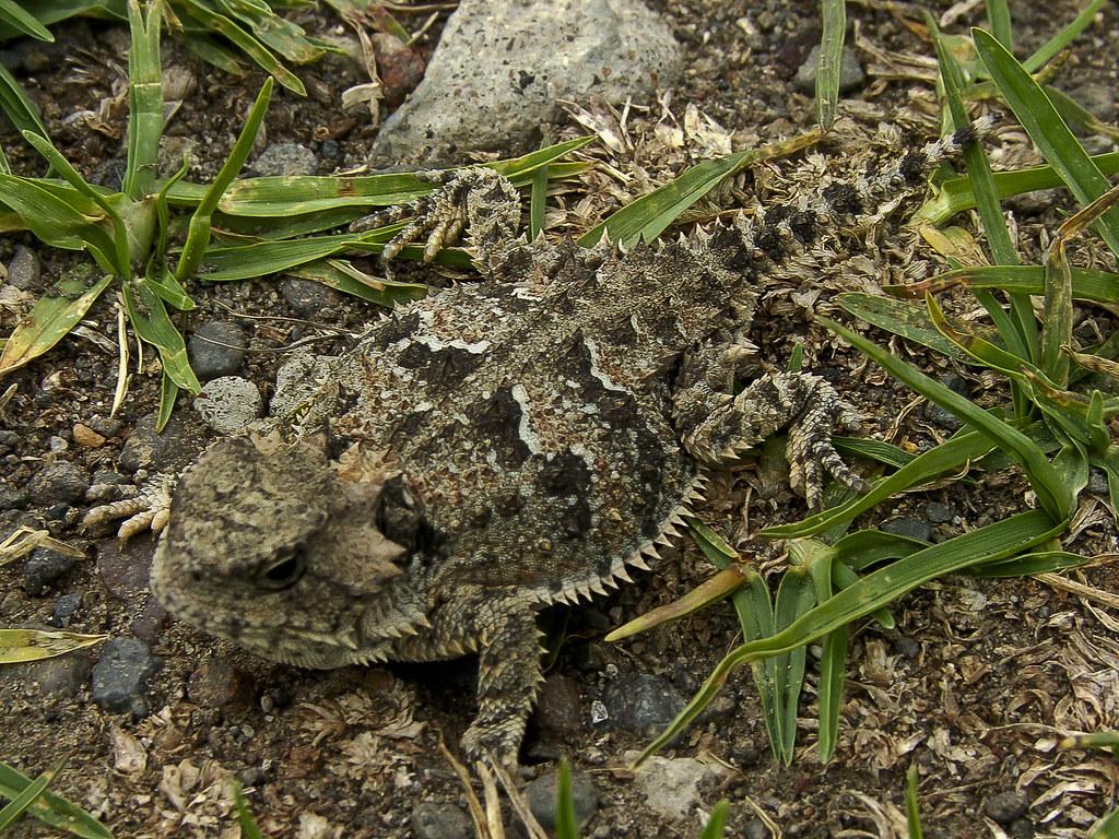 lagarto cornudo | ninaVanina | Flickr