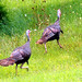 Kentucky Wild Turkey