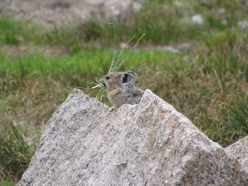 American Pika | by USFWS Mountain Prairie