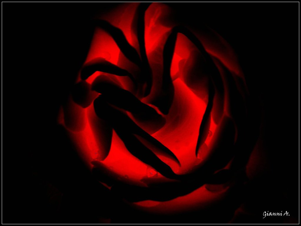 Passione Luce Di Una Rosa Rossa Flickr