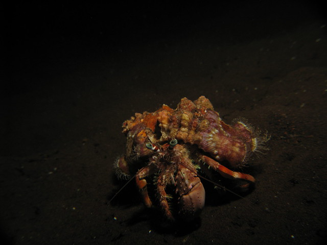 decorator crab and anemone relationship