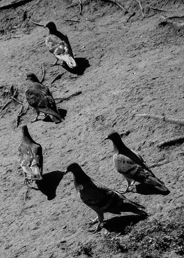 pigeons on sandy bank